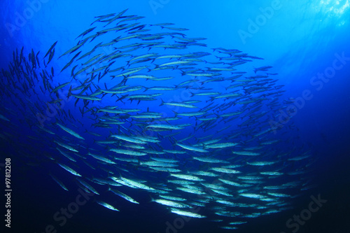 Papiers peints Recifs coralliens Barracuda fish shoal in blue ocean