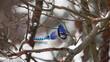 Blue Jay, Cyanocitta cristata, in winter