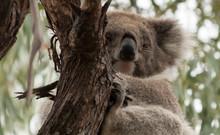 Koala Bear Sitting In A Tree, Raymond Island, Victoria, Australia