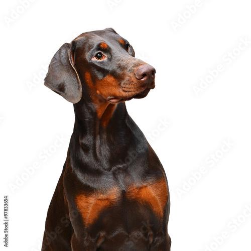 Fototapeta Portrait of brown doberman on the white background