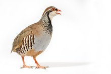 Wildlife Studio Portrait: Red-legged Partridge On White Background. Blank Space At Right.