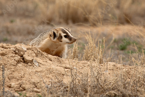 Staande foto Ree An American Badger outside of its den on the Colorado plains in spring.