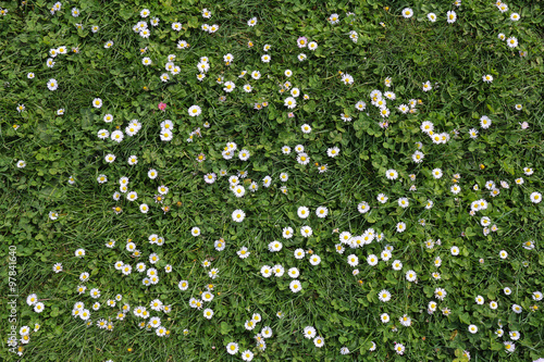 Deurstickers Madeliefjes daisies in clover, floral background