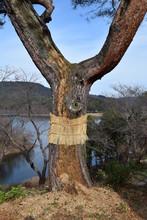 松のこも巻き/山形県の山間部にある風光明媚な公園で、松の木に「こも巻き」を施術した風景を撮影した写真です。こも巻きは害虫駆除法で、マツカレハの幼虫(マツケムシ)を除去する方法のひとつです。春先に、この「こも」の中で越冬したマツカレハの幼虫を「こも」と一緒に焼却し、マツカレハの駆除をするのが目的です。11月頃に施術される為、冬支度のように解釈される向きもありますが、決して防寒が目的ではありません。