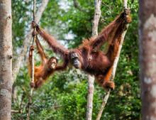 The Female Of The Orangutan Wi...