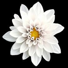Tender White Flower Dahlia Macro Isolated On Black