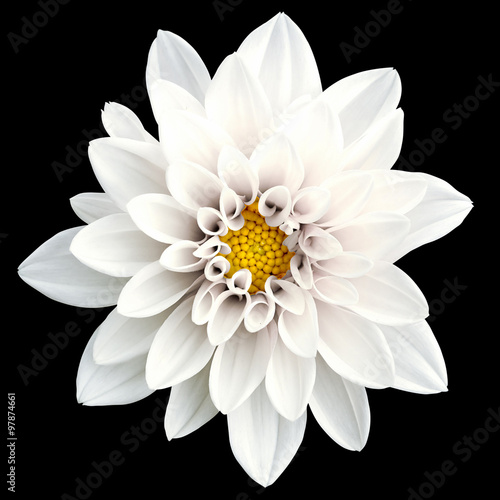 Poster de jardin Dahlia Tender white flower dahlia macro isolated on black