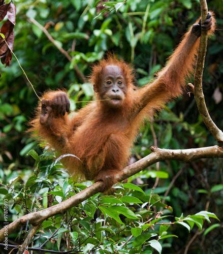 Foto op Aluminium Aap A baby orangutan in the wild. Indonesia. The island of Kalimantan (Borneo). An excellent illustration.