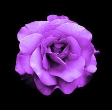 Surreal Dark Chrome Purple Rose Flower Macro Isolated On Black