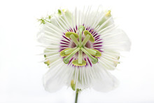 Fetid Passionflower Isolated On White Background