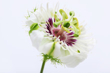 Fetid Passionflower Isolated O...