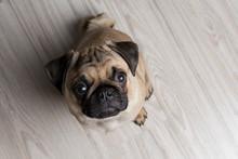 The Pug Puppy Closeup
