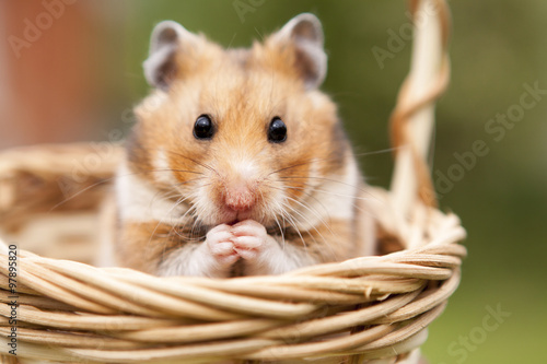 Little hamster in a basket