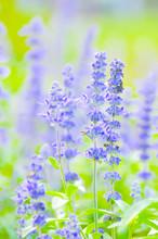 Blue Salvia,Mealy Cap Sage Or Salvia Farinacea Benth