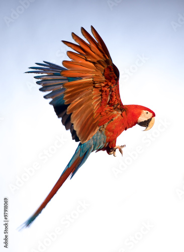 Fotobehang Papegaai A parrot in flight