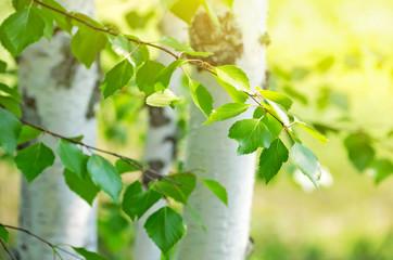 Fototapeta Bright birch branches in the sunlight