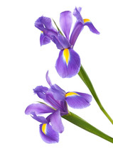 Two Irises Isolated On A White Background. Focus On Bottom Flower