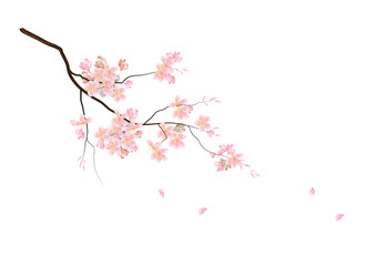 Fototapeta Cherry blossom flowers with branch on white background,vector illustration