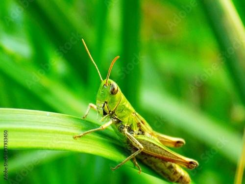 Obraz na plátne Grasshopper on grass blade