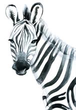 Watercolor Zebra Isolated On W...