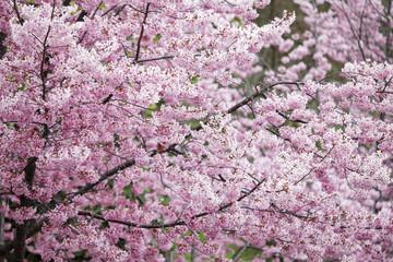 Panel Szklany Japoński Wuling Farm cherry blossom season, Nantou, Taiwan