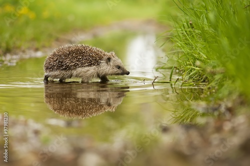 Photo  Hedgehog and the water