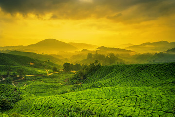 Fototapeta Orientalny Sunrise of tea plantation in Cameron Highlands, Malaysia.