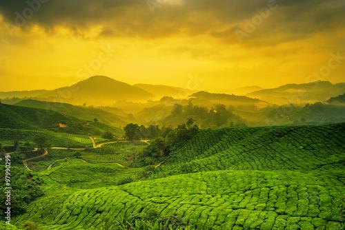 Sunrise of tea plantation in Cameron Highlands, Malaysia. - 97990295