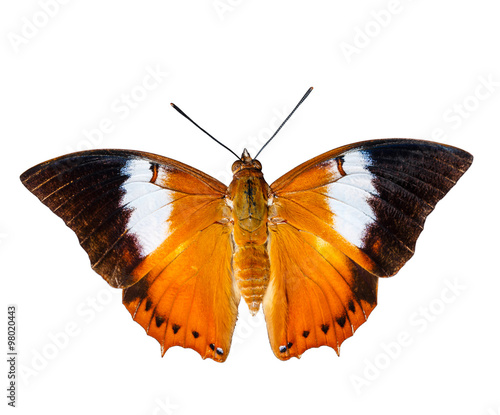 Isolated Tawny Rajah butterfly on white Wallpaper Mural