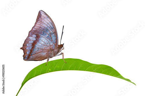 Photo  Isolated Tawny Rajah butterfly on leaf