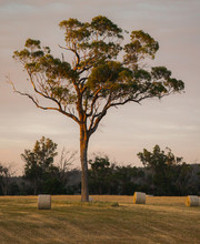 Lone High Tree And Haystacks In Australia