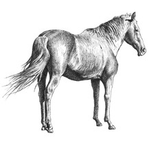 Illustration With A Horse
