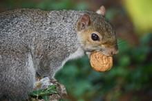 Eastern Gray Squirrel (Sciurus Carolinensis) Carrying Walnut, Italy