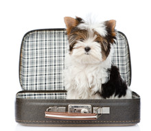 Biewer-Yorkshire Terrier Sitting In Open Bag. Isolated On White