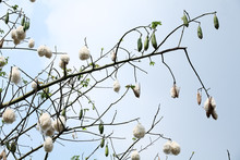 White Cotton Silk On Tree.