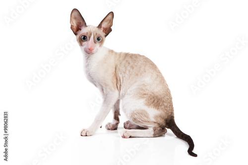 Photo  Cornish Rex kitten isolated on white background
