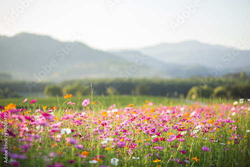 Cosmos flower fields Poster