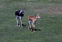 Impala Antelope, Black Buck A...