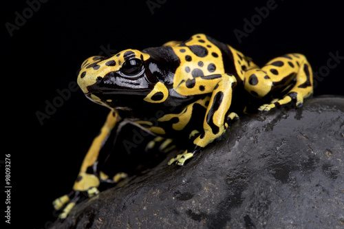 Poster Grenouille yellow-banded poison dart frog (Dendrobates leucomelas)