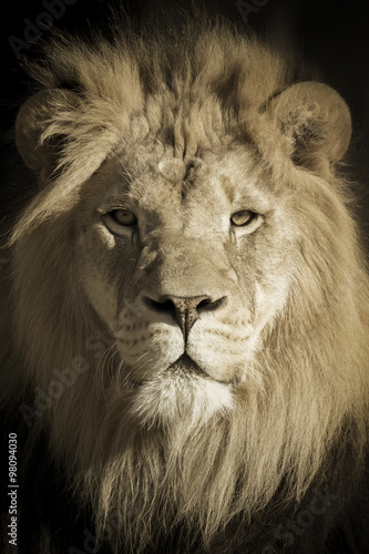 Fotobehang Leeuw This beautifully toned portrait of a make African Lion as the King of Beasts was shot at a local zoo late on a fall day.