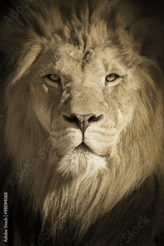 Foto op Plexiglas Leeuw This beautifully toned portrait of a make African Lion as the King of Beasts was shot at a local zoo late on a fall day.