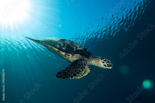 Poster Schildpad A Hawksbill Turtle - eretmochelys imbricata - swims under the sun. Taken in Komodo National Park, Indonesia.