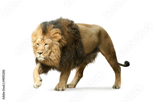 Photo sur Aluminium Lion asian lion isolated on white