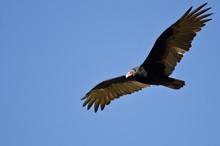 Turkey Vulture Flying In A Blu...