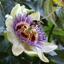Passionflower