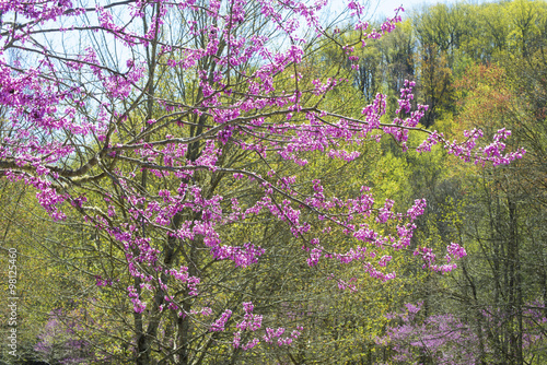 Fotografie, Obraz  Redbud Tree blooming against a green forest.