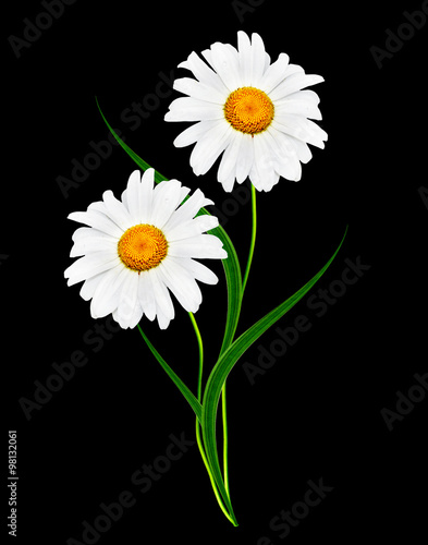Foto op Canvas Madeliefjes Daisy flower isolated on black background