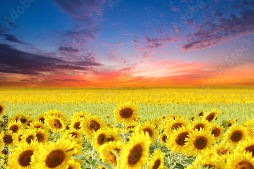 sunflowers - 98151633