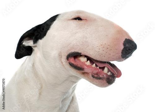 Fotografia female bull terrier