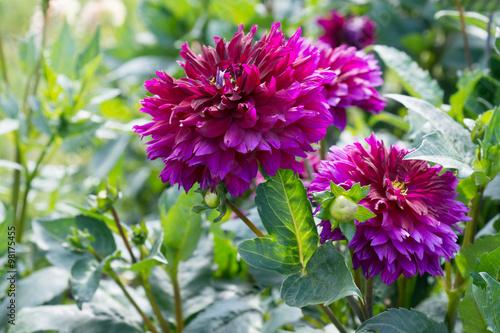 Fotobehang Lilac Flower dahlia